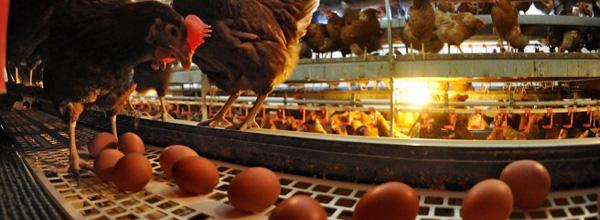 bio-eier-huhn