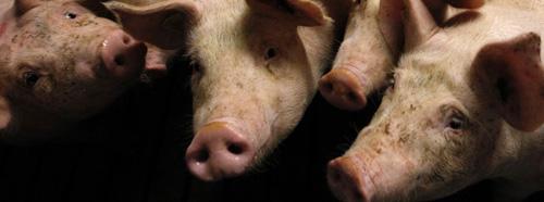 schweine-antibiotika
