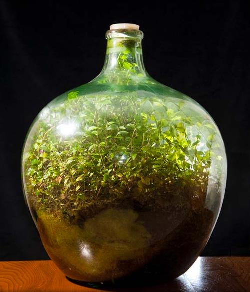 Pflanze lebt seit 40 jahren in verschlossener flasche for Pflanzen im glas